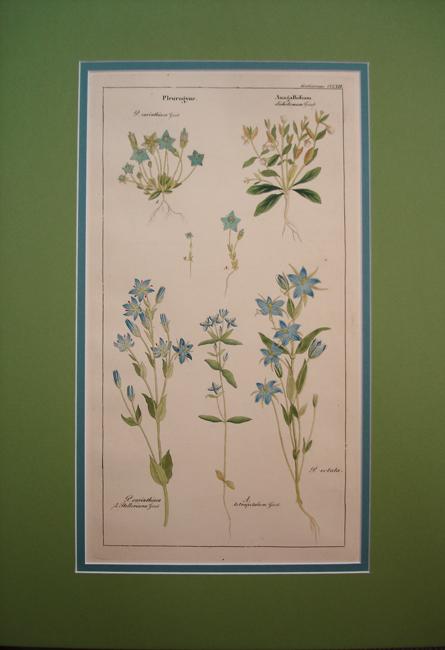 Gentianeae (Pleurogyne Anagallidium)