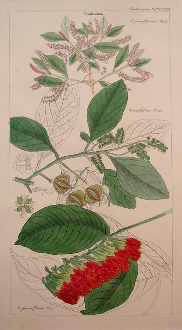 Combretaceae (Combretum)