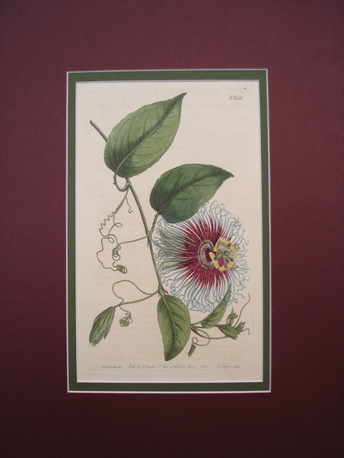 Notch Leaved Passion Flower