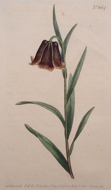 Pyrenean Fritillary