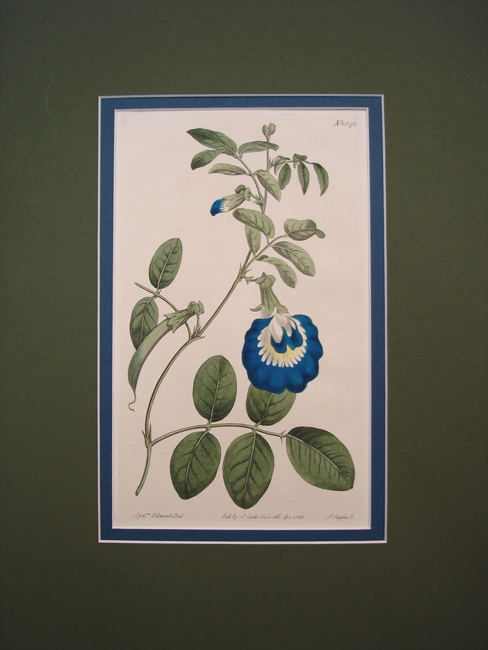 Wing Leaved Clitoria