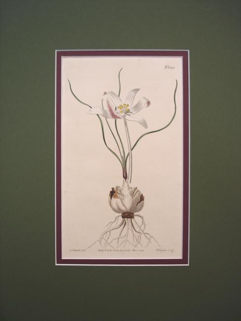 Common Amaryllis