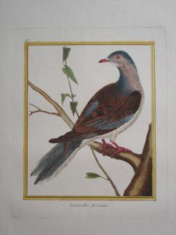 Tourterelle du Canada (Canadian Dove) ( EXTINCT)