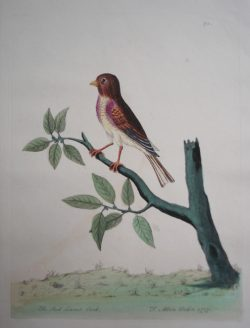 The Red Linnet Cock