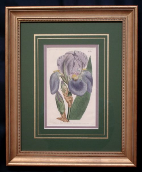 "Curtis, William (1746-1799) ""Iris Pallida"" (Pale Flag)"