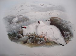 Lagopus Mutus (Ptarmigan Winter Plumage)
