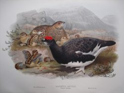 Lagopus Mutus (Ptarmigan Summer Plumage)