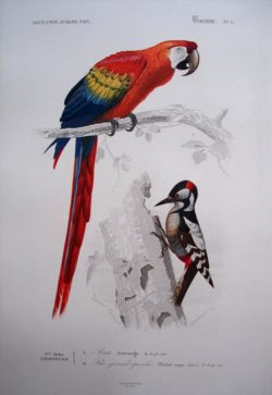 1) Aracanga, 2) Picus Major