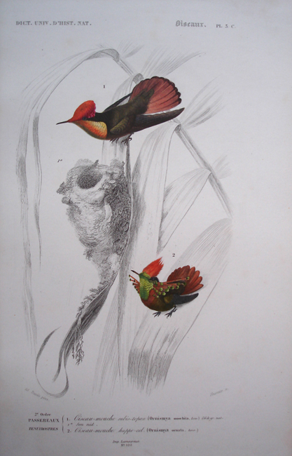 1) Ornismya Moschita, 2) Ornismya Ornata (Hummingbird)