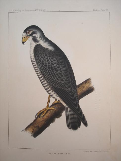 Falco Nigriceps