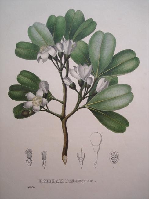 Bombax Pubescens