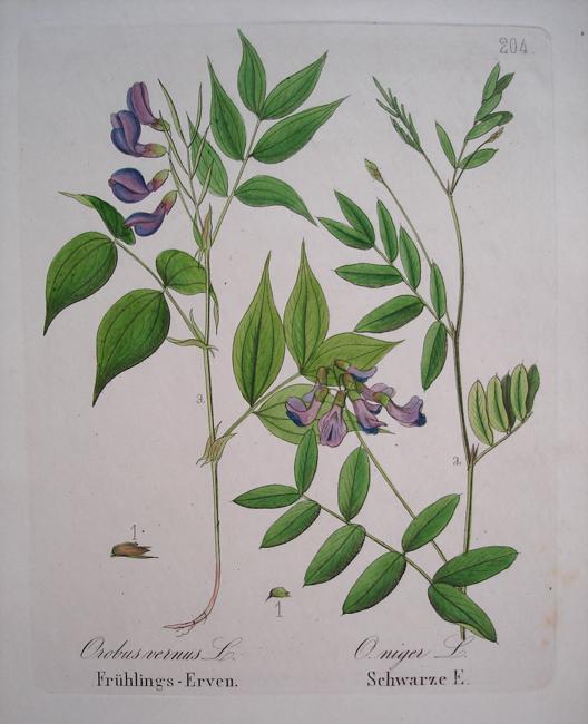 1) Orobus Vernus, 2) O. Niger