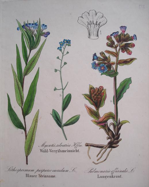 1) Lithospermum Purpureo Caeruleum, 2) Myosotis Silvatica, 3) Pulmonaria Officinalis