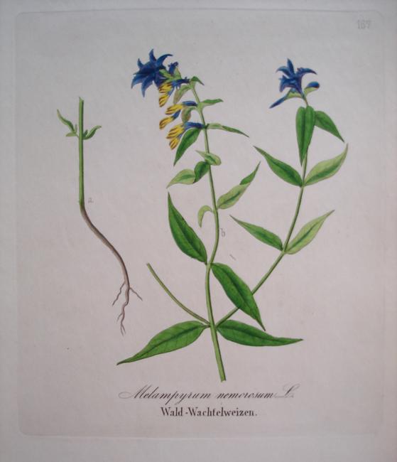 Melampyrum Nemorosum