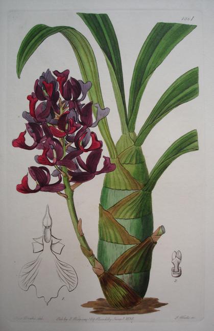 Dark Purple Mormodes