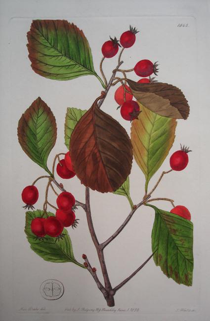 Plum Leaved Thorn