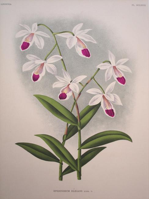 Epidendrum Elegans
