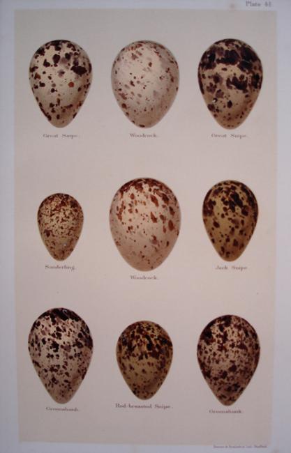 Woodcock, Sanderling, Jack Snipe, Greenshank, Red Breasted Snipe