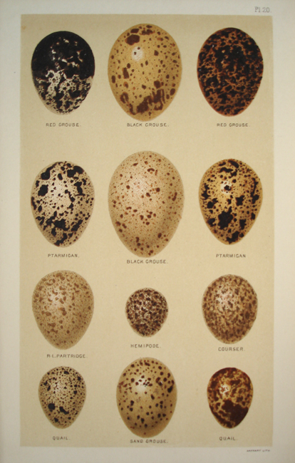 Red Grouse, Black Grouse, Red Grouse, Ptarmigan, Partridge, Hemipode, Courser, Quail, Sand Grouse,