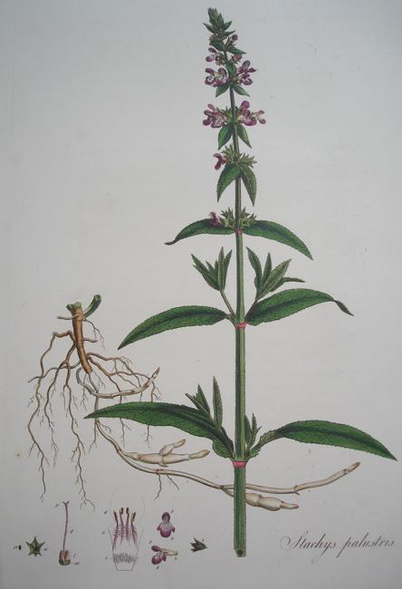 Stachys Palustris (Marsh Wound-Wort)