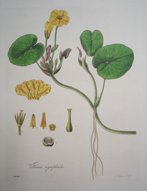 Villarsia Nymphoides (Nymphaea-Like Villarsia)