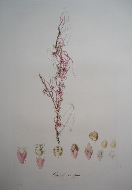 Cuscuta Europaea (Greater Dodder)
