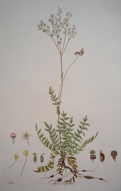 Spiraea Filipendula (Common Dropwort)