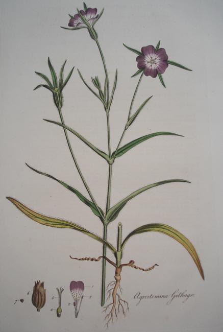 Agrostemma Githago (Corn Cockle)