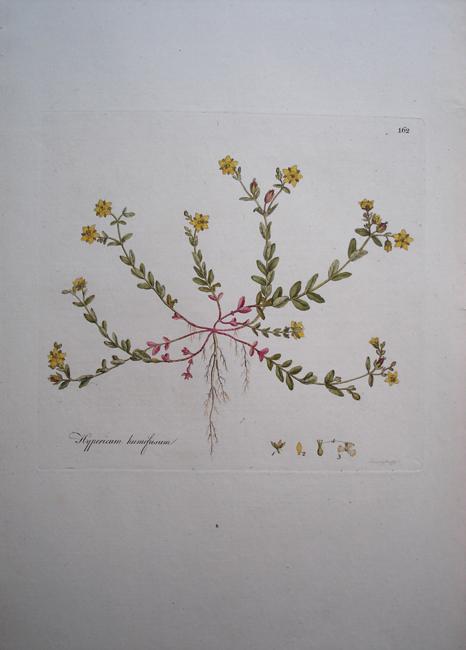 Hypericum Humifusum (Trailing St. John's Wort)