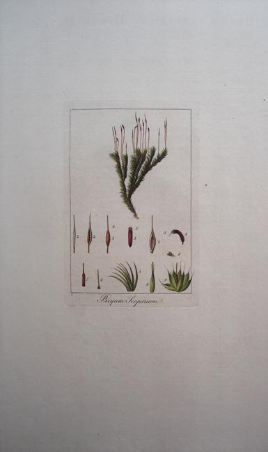 Bryum Scoparium (Broom Bryum)