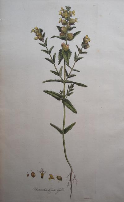 Rhinanthus Crista Galli (Yellow Rattle)