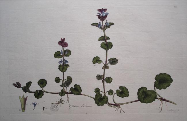 Glechoma Hederacea (Ground-ivy)