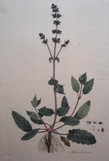 Salvia Verbenaca (Wild Sage or Clary)