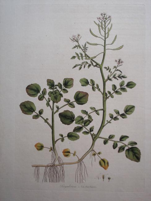 Sisymbrium Nasturtium (Water-Cress)