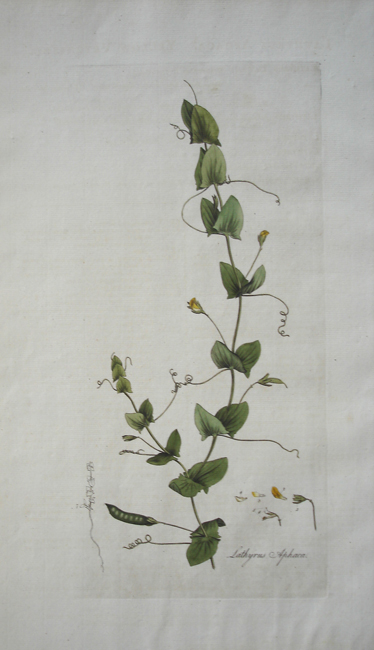 Lathyrus Aphaca (Yellow Vetchling)