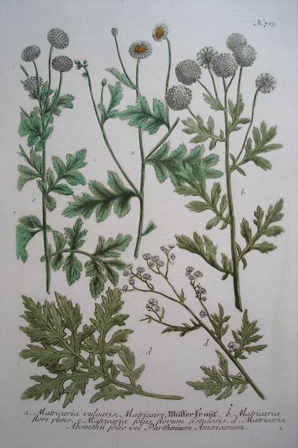 a) Matricaria vulgaris, Matricaire, b) Matricaria flore pleno, c) Matricaria foliis florum fistulosis, d) Matricaria Absinthii folio vel Parthenium Americanum