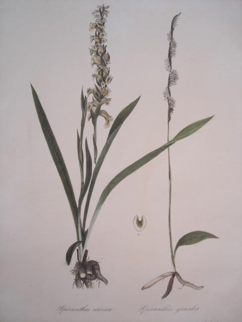 1) Spiranthes Cernua, 2) Spiranthes Gracilis