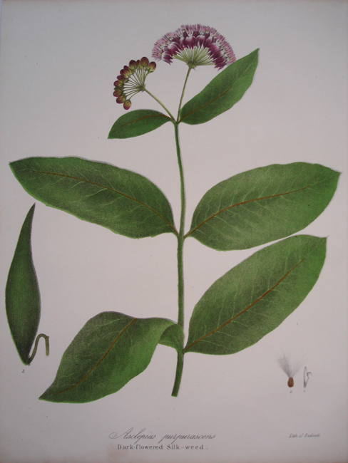 Dark Flowered Silk Weed