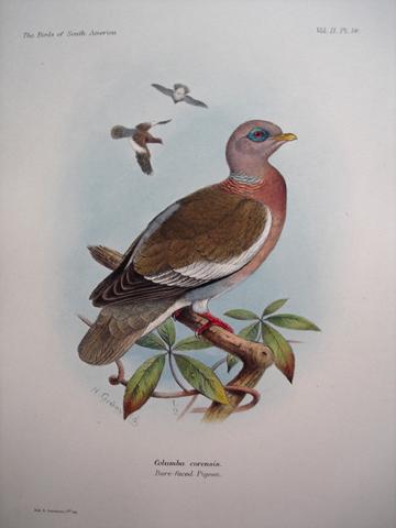 Columba corensis (Bare-faced Pigeon)