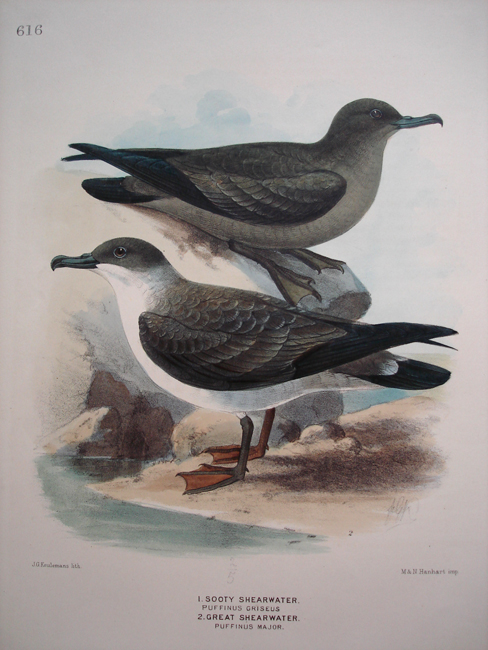 1) Sooty Shearwater, 2) Great Shearwater