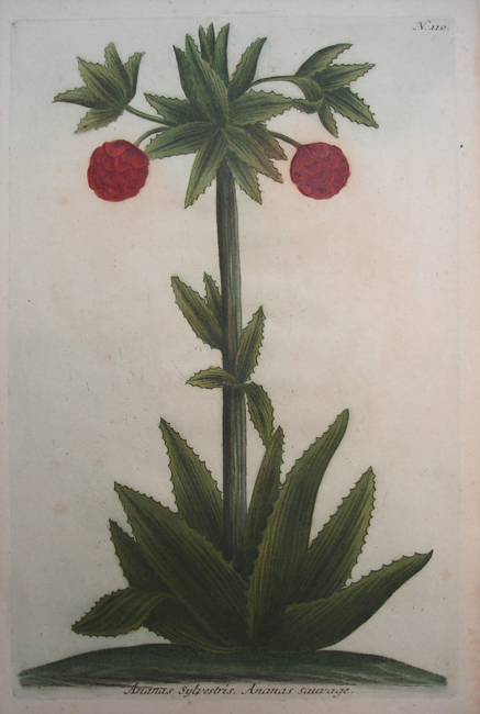 Ananas Sylvestris. Ananas Sauvage