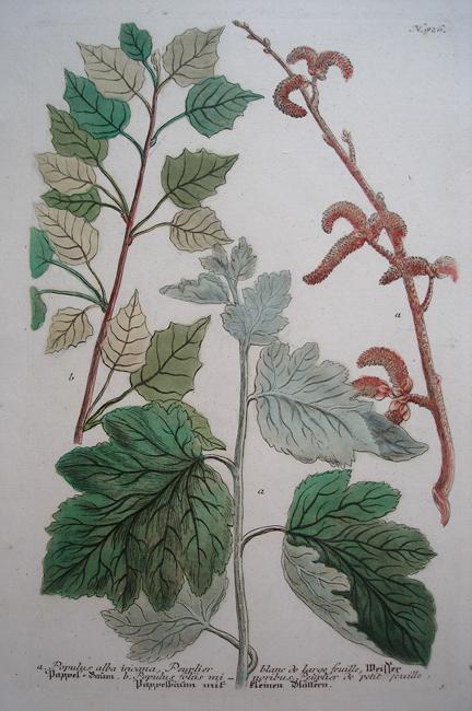 a) Populus alba incana, Peuplier blanc de large feuille, b) Populus foliis minoribus, Peuplier de petit feuille