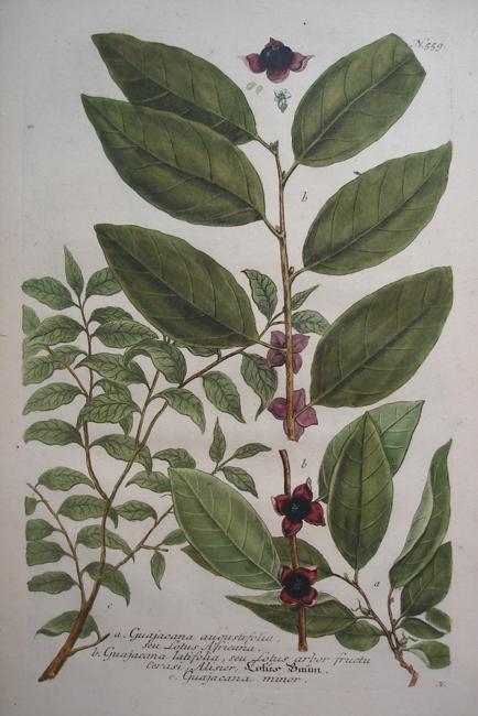 a) Guajacana augustifolia seu Lotus Africana, b) Guajacana latifolia seu Lotus arbor fructu cerasi, Alisier c) Guajacana minor