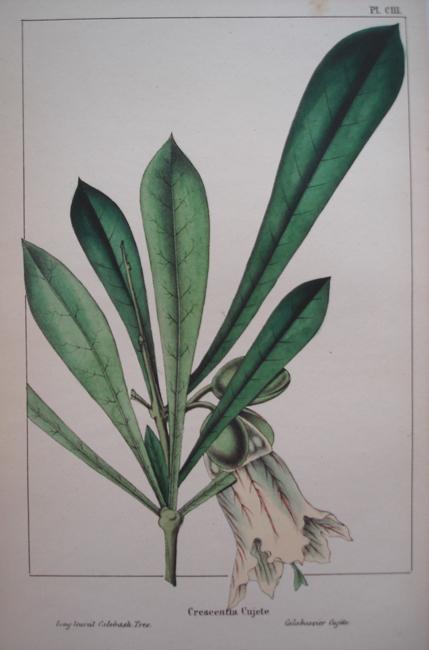 Crescentia Cujete (Long Leaved Calebash Tree)