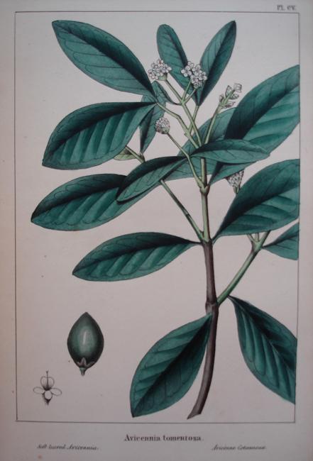Avicennia Tomentosa (Soft Leaved Avicennia)