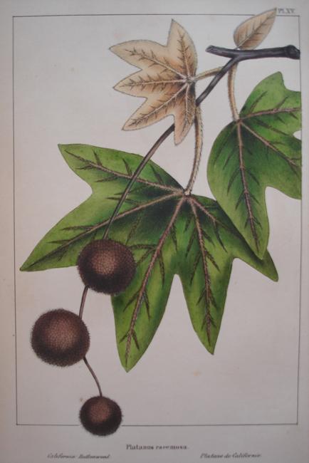 Platanus Racemosa (California Buttonwood)