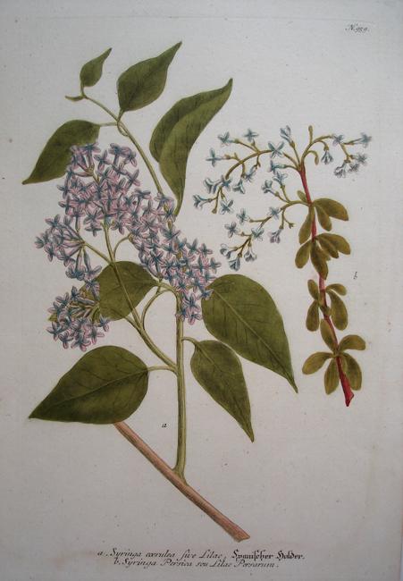 a) Syringa coerulea five Lilac, b) Syringa Persica seu Lilac Persarum