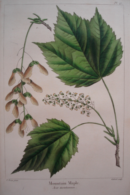 Mountain Maple (Acer Montanum)