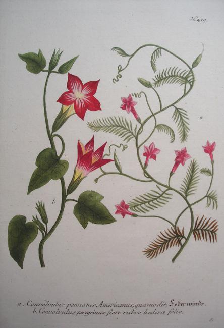a) Convolvulus pennatus Americanus, quamoclit, b) Convolvulus peregrinus flore rubro hederae folio