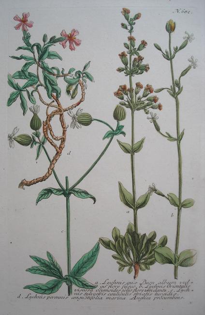 a) Lychnis quae Been album vulgo flore fusco, b) Lychnis Orientalis viscosa ocymoides folio flore viridante, c) Lychnis sylvestris cauliculis striatis turgidis, d) Lychnis perennis angustifolia marina Anglica procumbens